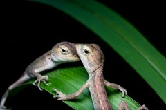 Przyrody jaszczurka Obrazy Royalty Free