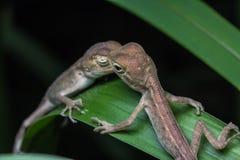 Przyrody jaszczurka Zdjęcia Royalty Free