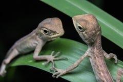 Przyrody jaszczurka Obraz Royalty Free