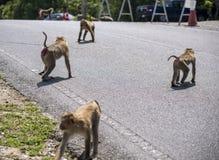 Przyrody napastowanie w turystycznych miejscach - małpa kraść jedzenie od pojazdów które stoped robić fotografii na a turysta zdjęcia stock
