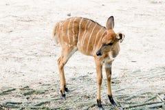 Przyrody Nyala antylopy Nyala angasi fotografia royalty free