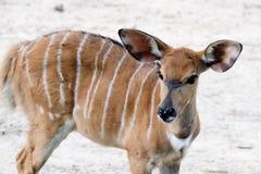 Przyrody Nyala antylopy Nyala angasi zdjęcie stock