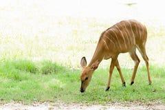 Przyrody Nyala antylopy Nyala angasi w zoo zdjęcia royalty free