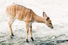 Przyrody Nyala antylopy Nyala angasi w zoo zdjęcia stock