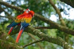 Przyrody scena miłosna od zwrotnika lasu natury Dwa piękna papuga na gałąź w natury siedlisku Para duży papuzi szkarłat M Obrazy Royalty Free