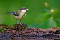 Przyrody scena od lasowego jeziora Wielki Tit, Parus ptaka śpiewającego obsiadanie w wodzie, ważny, czarny i żółty, ładna liszaj  Obraz Royalty Free