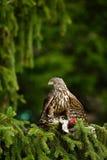 Przyrody scena od natury Ptak zdobycza jastrzębia zwłoki zielony dzięcioł na zielonym świerkowym drzewie Żywieniowa scena z ptaki Obrazy Stock