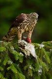 Przyrody scena od natury Ptak zdobycza jastrzębia zwłoki zielony dzięcioł na zielonym świerkowym drzewie Żywieniowa scena z ptaki Obraz Royalty Free