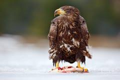 Przyrody scena od natury Złoty Eagle z chwyt ryba w śnieżnej zimie, śnieg w lasowym siedlisku Przyrody scena od dziki nat Zdjęcia Stock