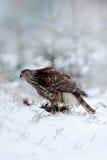 Przyrody scena od Szwecja natury Ptak zdobycza jastrzębia zwłoki obsiadanie na śnieżnej łące z otwartymi skrzydłami i ptak, zamaz Obrazy Royalty Free