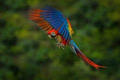 Przyrody scena od zwrotnik natury Czerwony ptak w lasowym Papuzim locie Czerwona papuga w deszczu Ary papuzia komarnica w ciemnoz Zdjęcie Stock