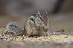 Przyrody wiewiórka minimalna Fotografia Stock