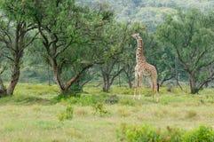 Przyrody żyrafa w Afryka Obrazy Stock