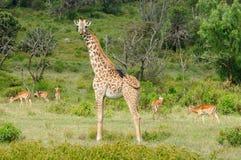 Przyrody żyrafa w Afryka Fotografia Royalty Free
