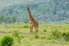 Przyrody żyrafa w Afryka Obraz Royalty Free