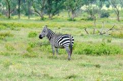 Przyrody zebra w Afryka Fotografia Royalty Free