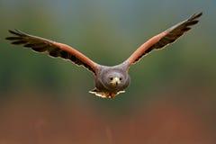 Przyrody zwierzęca scena od natury Ptak, twarzy flyght Latający ptak zdobycz Przyrody scena od Meksyk natury Floryda, usa, dziki  Obraz Royalty Free