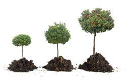 Przyrost cytrusów drzewa Zdjęcia Stock