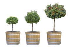 Przyrost cytrusów drzewa Fotografia Royalty Free