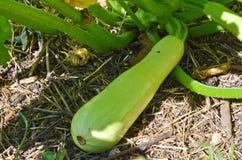 Przyrost zucchini na ziemi Fotografia Stock