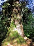Przyrosta Redwood Obraz Stock