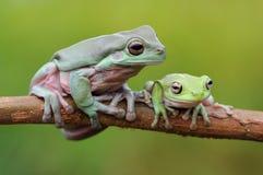 Przysadkowata Drzewna żaba zdjęcia stock