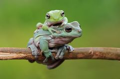 Przysadkowata Drzewna żaba zdjęcia royalty free