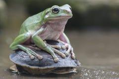 Przysadkowaty żaba pobyt na skorupy turtel obrazy stock