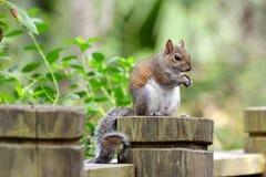 Przystojna wiewiórka Obraz Stock