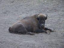 Przystojny żubr odpoczywa na wiosny trawie Warszawski zoo zdjęcie stock