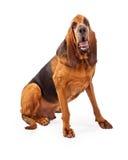 Przystojny Bloodhound psa obsiadanie Fotografia Royalty Free