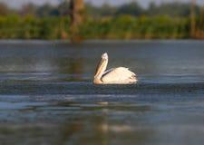 Przystojny Dalmatyński pelikan zdjęcia royalty free
