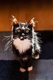 Przystojny kot w słonecznym dniu indoors Obraz Royalty Free