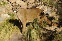 Przystojny kuguar, Halny lew w pustyni/ Zdjęcie Stock
