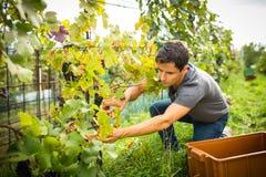 Przystojny młody vintner zbiera winogradów winogrona w jego winnicy obrazy stock