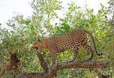 Przystojny Męski Afrykański lampart stoi pełną ramę w wibrującym gree drzewie w południowym luangwa parku narodowym, zambiowie, s Fotografia Stock