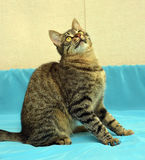 Przystojny młody tabby kot zdjęcie stock