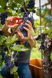 Przystojny młody vintner zbiera winogradów winogrona w jego winnicy fotografia stock