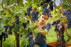 Przystojny młody vintner zbiera winogradów winogrona w jego winnicy zdjęcie royalty free