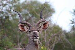 Przystojny Męski kudu Obraz Stock
