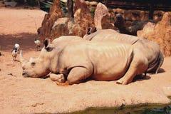 Przysypiać białe nosorożec Biopark, Walencja, Hiszpania Fotografia Royalty Free