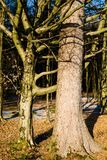 Przytuleń Drzewa Obrazy Royalty Free