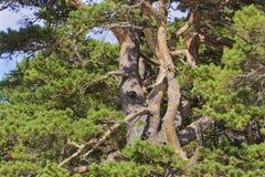 Przytuleń Drzewa Obrazy Stock