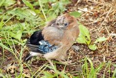 Przytulona sójka bierze daleko od gniazdeczka Fotografia Stock