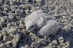 Przytulony Buteo lagopus, ptak zdobycz Fotografia Stock
