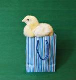 Przytulony mały żółty kurczątko w błękitnej prezent paczce Zdjęcia Stock