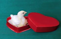 Przytulony mały żółty kurczątko w czerwonym prezenta pudełku w kierowym kształcie Obrazy Stock