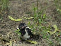 Przytulony sroka ptak w trawie Cicero cicero młody ptak Obrazy Stock