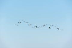 Przywódctwo, Wielki Biały Egret Zdjęcie Stock