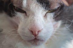 Przywdziewa Sphynx Aroganckiego kota przeciw tłu homely zamazany wnętrze zdjęcie stock